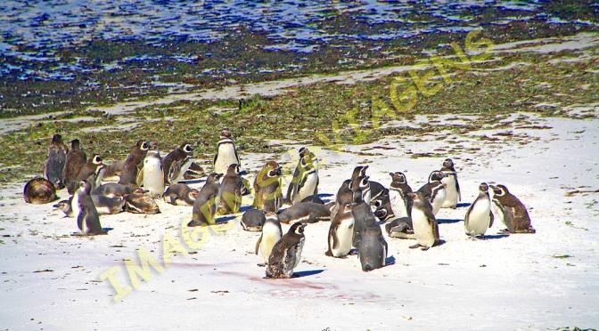 Ilhas Falkland, terra dos pinguins
