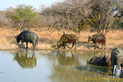 Búfalos/Büffeln/ buffalos