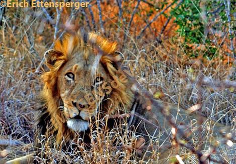 Leão/Löwe/Lion