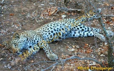Leopardo/Leopard