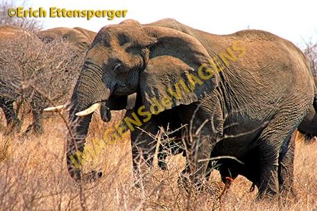 Elefante/Elefant/Elephant