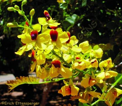 "A flor da árvore ""Pau-brasil""/Blüten des Baumes ""Pau-brasil""/ Flowers of the tree ""Pau Brazil"""