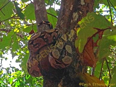 Uma cobra jibóia enroscada numa árvore/Eine Schlange an einem Baum/A snake coiled in a tree