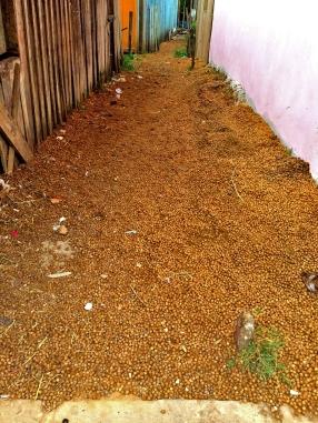 Esta rua foi pavimentada com caroço de açaí / Dieser Weg wurde mit den Kernen der Açaí-Beere gepflastert / This way was paved with the stones of the açaí fruit