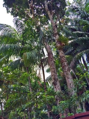 Essa é a seringueira / Dies ist ein Gummibaum / This is a rubber tree