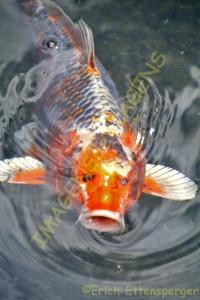 Peixe coi / Coi Fisch / Coi fish