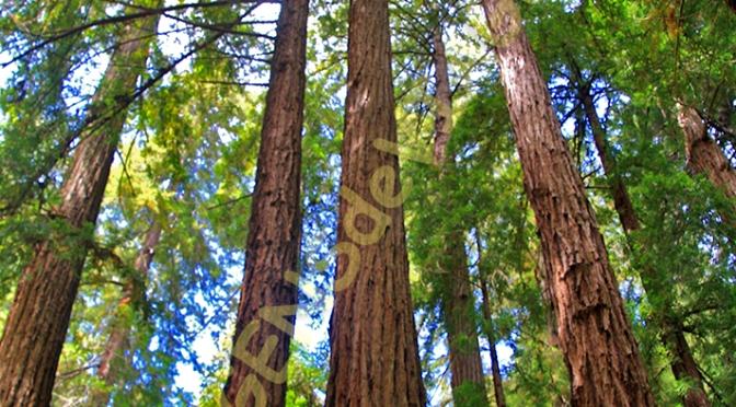 MUIR WOODS, NA CALIFORNIA, TESTEMUNHO DE UM PASSADO REMOTO/MUIR WOODS IN KALIFORNIEN, ZEUGNIS EINER FERNEN VERGANGENHEIT/MUIR WOODS IN CALIFORNIA, TESTIMONY OF A REMOTED PAST